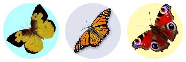 Несколько видов бабочек - примеры раскрашивания