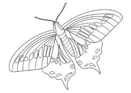 Анисовый ласточкин хвост (Бабочки) бесплатная раскраска на печать