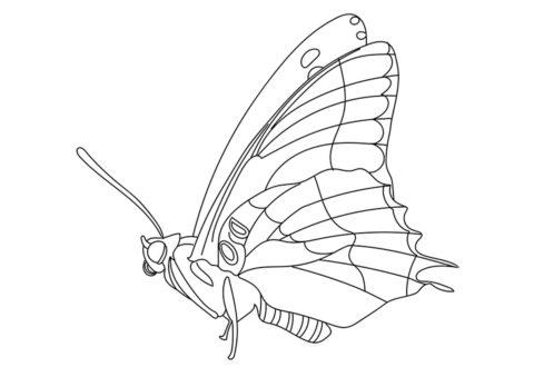 Булавоусая бабочка (Бабочки) бесплатная раскраска