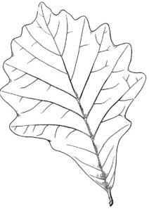 Дубовый листок широколиственного леса - Листья бесплатная раскраска