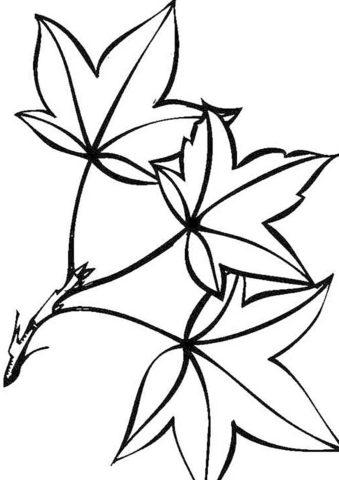 Клен ясенелистный (Листья) распечатать разукрашку