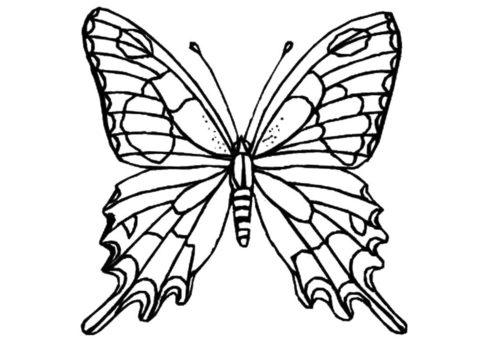 Бесплатная раскраска Красавица Евритида марцелл распечатать на А4 - Бабочки