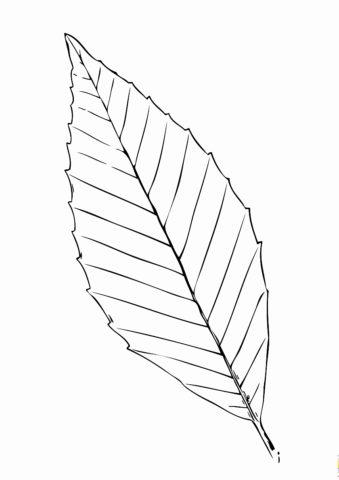 Листья бесплатная раскраска - Лист бука