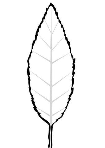 Листочек бука распечатать разукрашку бесплатно - Листья