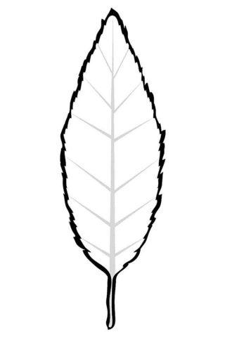 Листок бука распечатать и скачать раскраску - Листья