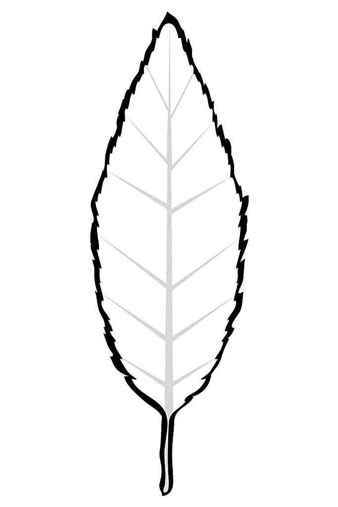 Раскраска Листок бука распечатать | Листья