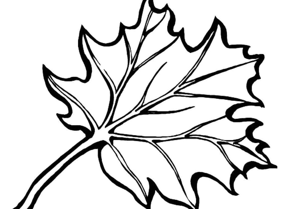 Раскраска Листок клена остролистый распечатать | Листья