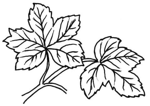 Распечатать раскраску Листья широколиственного леса - Листья