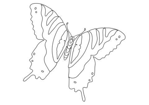 Парусник главк распечатать и скачать раскраску - Бабочки