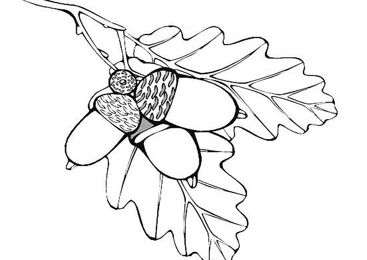 Раскраска Веточка дуба с желудем распечатать | Листья