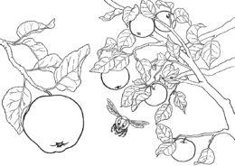 Ветви яблони распечатать разукрашку бесплатно - Яблоко